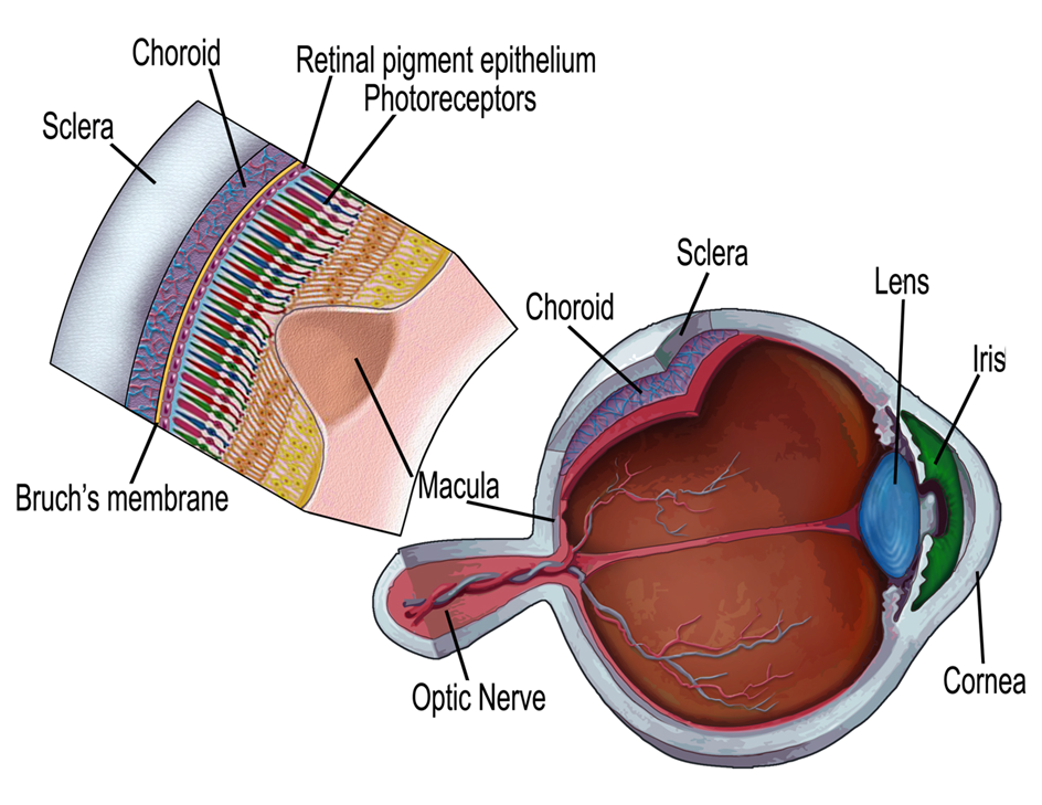 A schematic diagram of the retina.